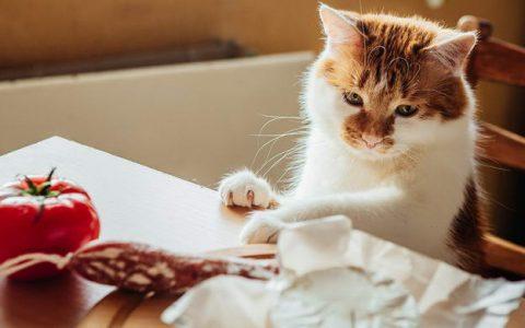 猫咪可以吃素吗?