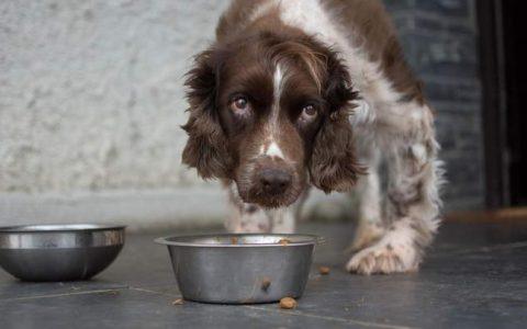 老年狗狗不肯进食怎么办?宠物狗不吃东西如何处理