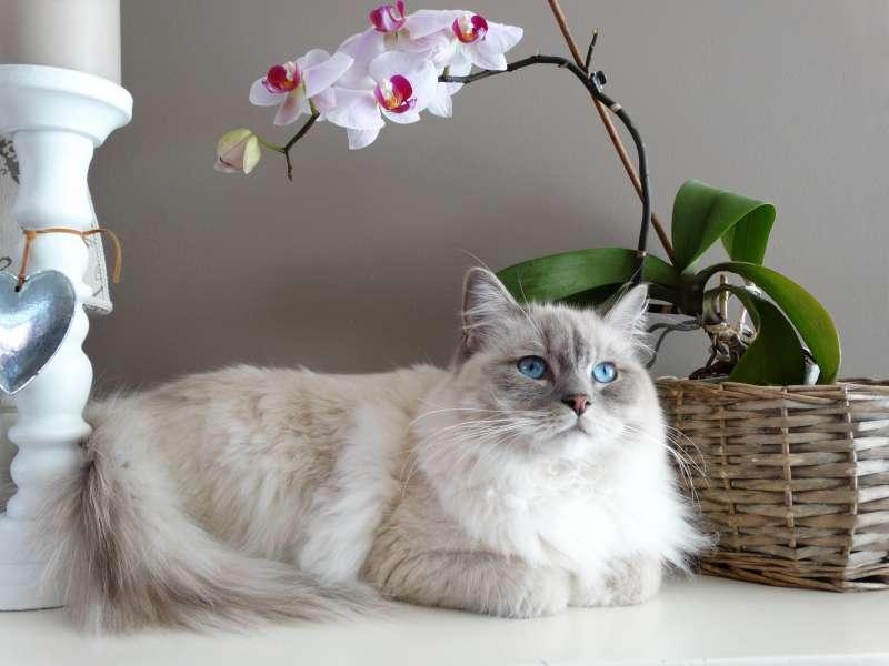 狮子猫是波斯猫跟鲁西狸猫的混种