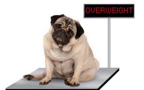 如何判断你的狗狗是肥胖还是长得壮?