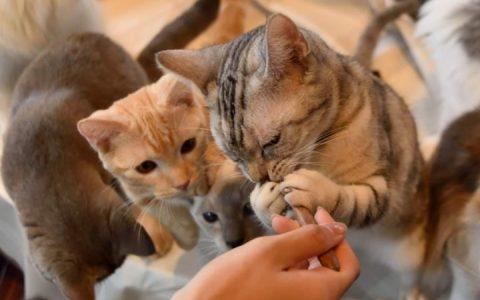 网络上的猫食食谱宠物食谱需要谨慎选择:大部分都营养未达标