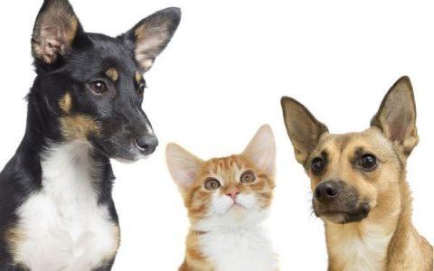宠物耳朵会出现的问题及清洁方法