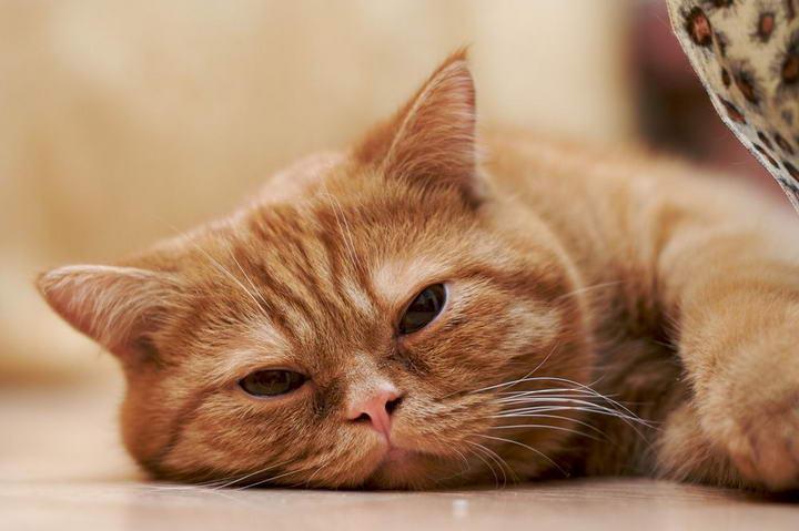 1/6的猫咪都有心脏病:宠物猫心脏病的四个症状