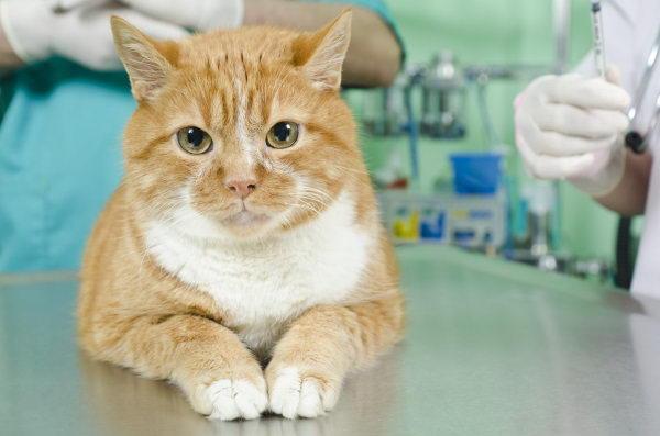 猫咪肾衰竭的症状和预防措施