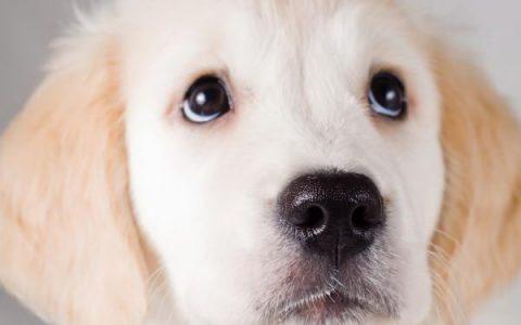 带你认识狗狗血液寄生虫——焦虫