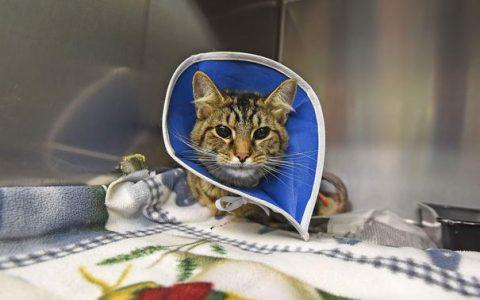猫咪意外受伤以后该如何正确的处理伤口?