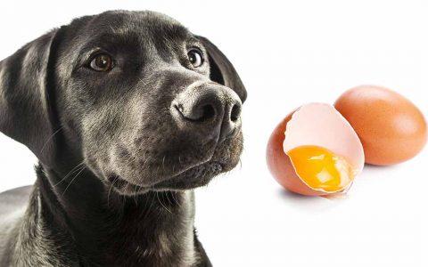 狗狗能吃生鸡蛋么?