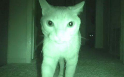 为什么猫咪会晚上大半夜叫