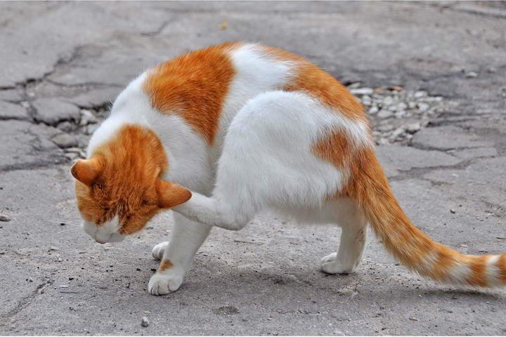 过敏反应会造成猫咪粟粒状皮炎