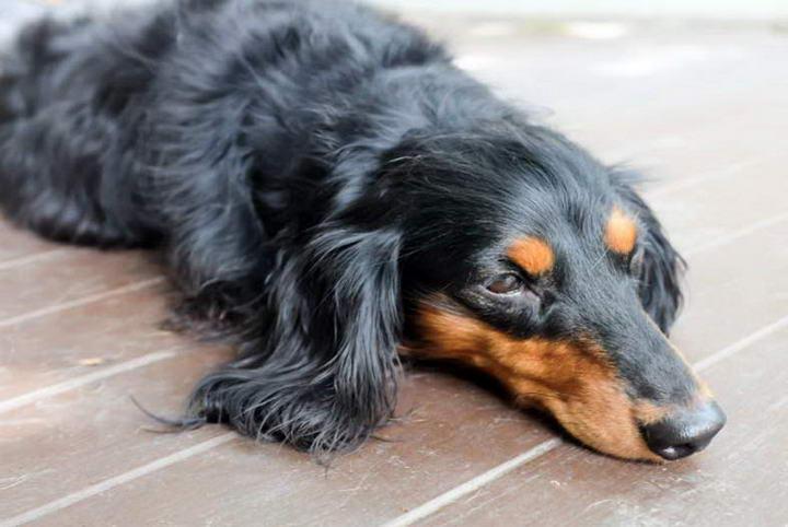 夏天宠物要小心各种体外寄生虫:疥癣虫、耳疥虫等
