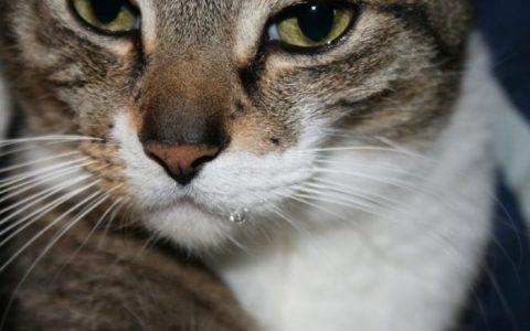 为什么猫咪会流口水?宠物猫流口水怎么办?