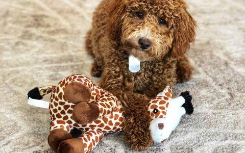 下班回家进门的时候为什么狗狗带着自己的玩具来迎接你?
