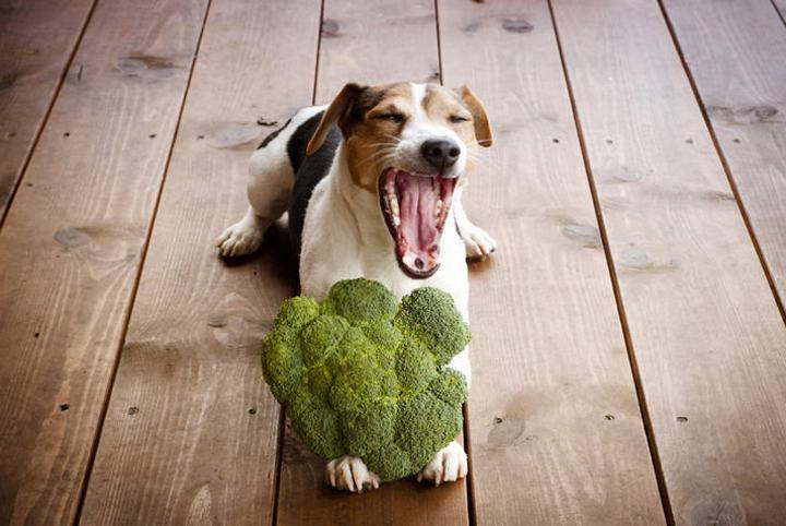 狗狗可以吃生蔬菜么?宠物狗吃蔬菜沙拉的好处