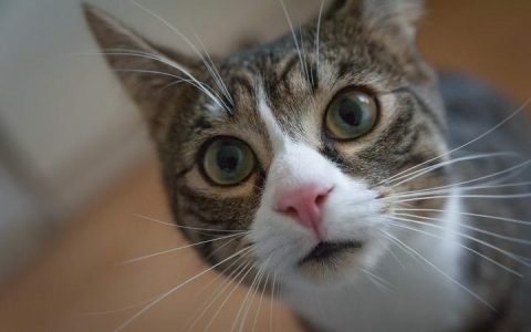 猫咪肾病的症状和预防治疗方法
