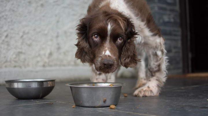 老年狗的7个健康饮食习惯,如何给老年犬一个健康的饮食?