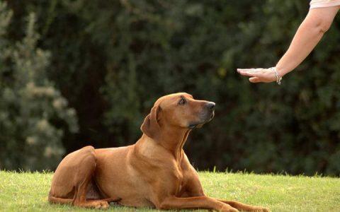 如何训练成年犬或年纪大的狗狗?