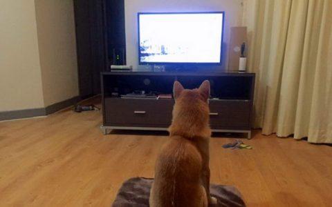 狗狗喜欢看电视吗?宠物犬能看懂电视么?
