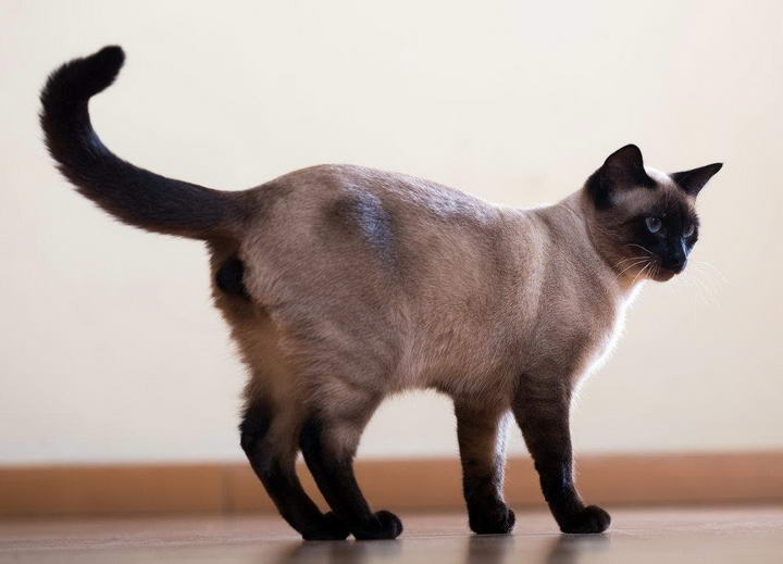 猫咪尾巴的四个作用