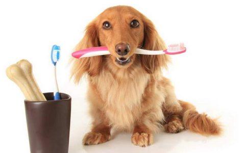 超过70%的宠物都有口腔疾病