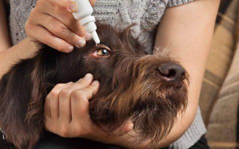 狗狗的红眼病,宠物犬结膜炎症状和治疗方法