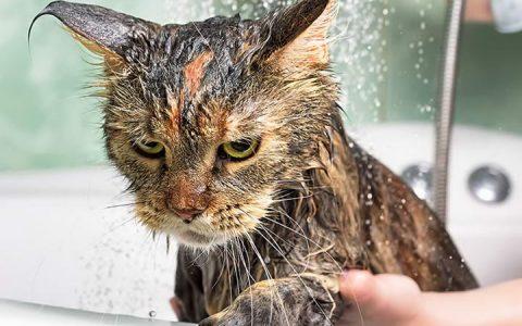 为什么猫咪会怕水?宠物猫讨厌洗澡怎么办