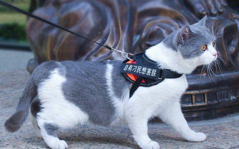 如何训练宠物猫能够接受猫咪牵引绳?