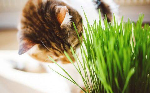 猫草是什么?猫咪吃了猫草有什么好处和作用?