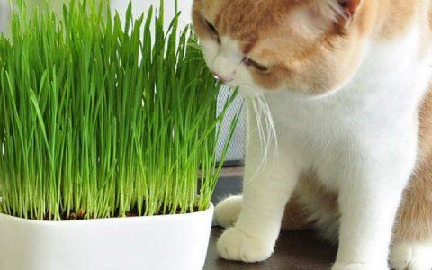 猫咪吃的猫草有哪些分类
