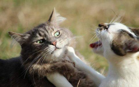 如何解决家猫之间的打架行为?猫咪老打架怎么办