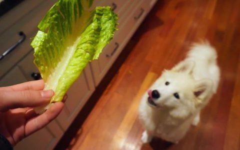 可以给狗狗吃莴苣和生菜吗?宠物犬能吃莴苣和生菜么?