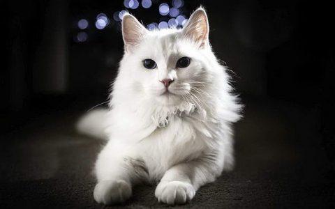 10种性格最像狗狗的猫咪品种