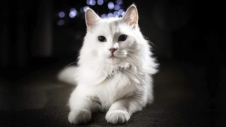 土耳其安哥拉猫(Turkish Angora,又称安卡拉猫)