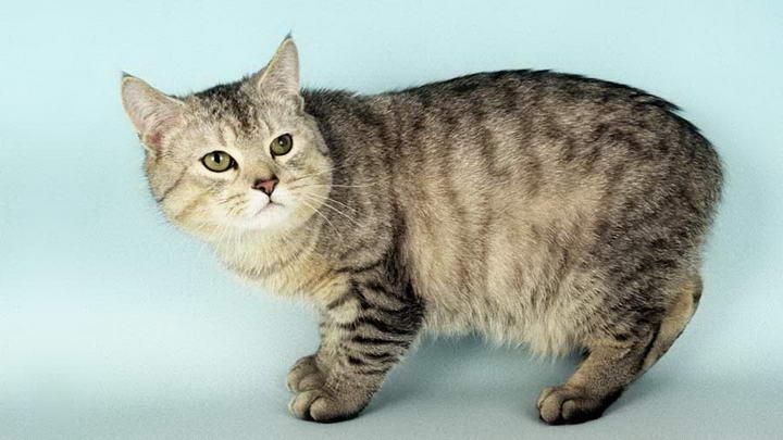 曼岛猫(Manx,又称马恩岛猫)