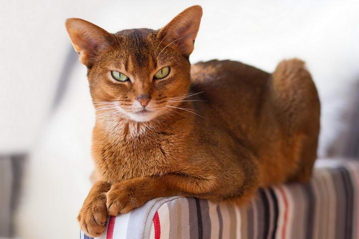 阿比西尼亚猫(Abyssinian)