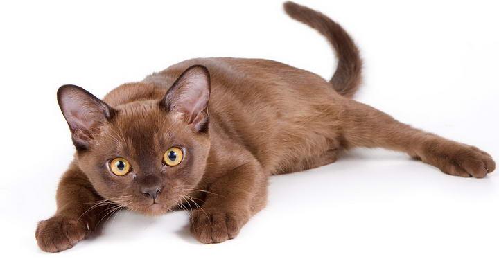 缅甸猫(Burmese)