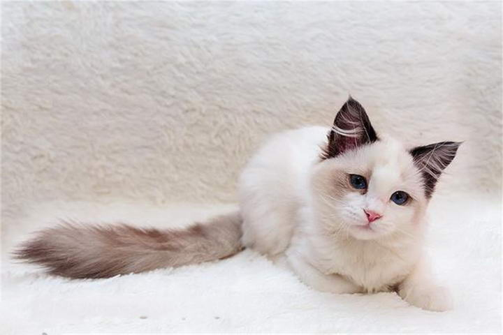 布偶猫(Ragdoll)