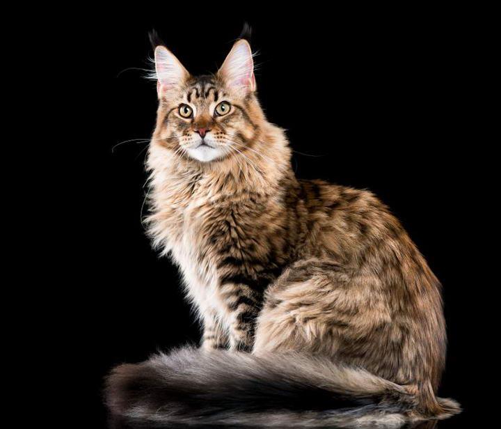 缅因猫(Maine Coon)