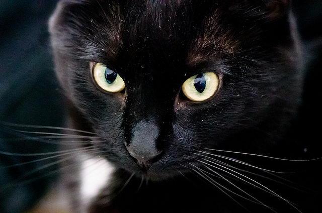 黄褐色眼睛的猫咪