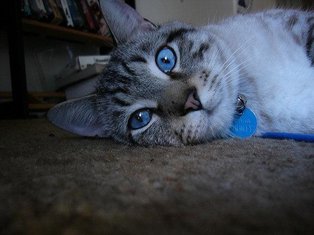 蓝色眼睛的猫