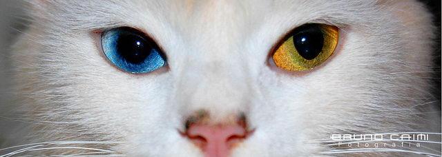 神秘的异色瞳猫咪(通常是蓝色+黄色组合)
