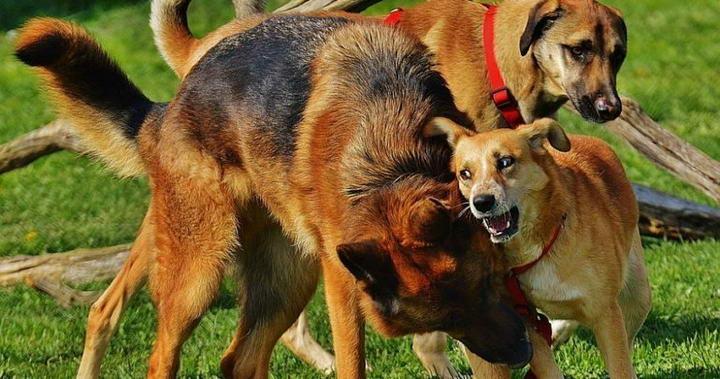 狗狗被另外一只宠物犬咬了怎么办?狗咬狗的正确处理方法