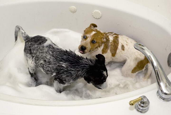 狗狗多久洗一次澡比较好?宠物犬的洗澡频率