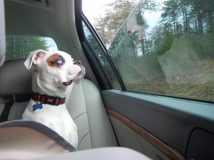 """步让狗狗喜欢上乘坐汽车,教你让宠物犬坐车"""""""