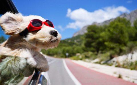 5步让狗狗喜欢上乘坐汽车,教你让宠物犬坐车