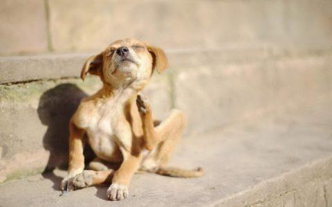 狗狗皮肤病的五大征兆