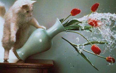 为什么猫咪会手贱将桌子上的东西摔下去?宠物猫扔东西的习惯