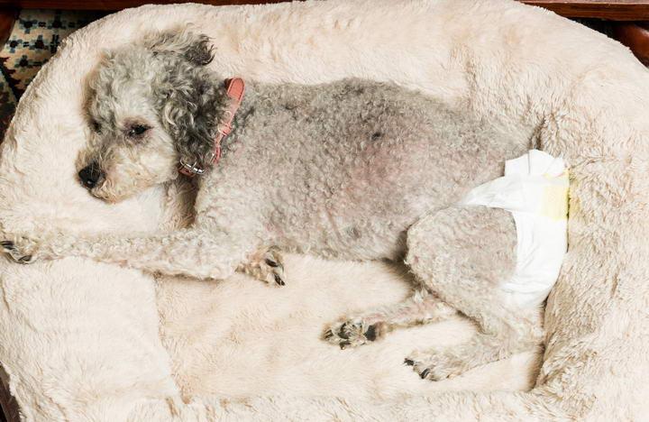 宠物狗狗有没有月经?该如何护理