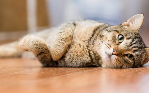 猫咪有没有月经?母猫发情期注意事项