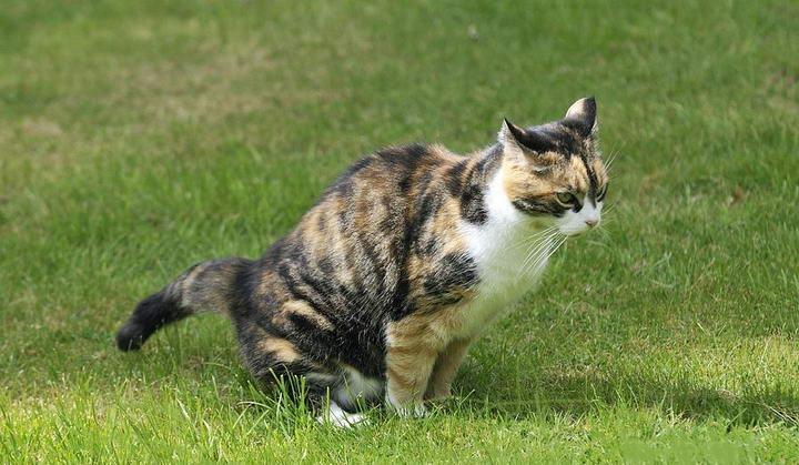 猫咪便便正确的姿势:屁屁悬空,神情专注。