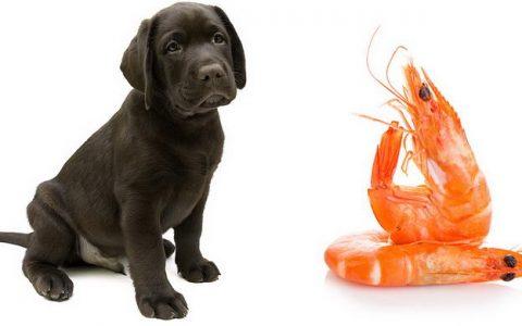 可以给狗狗吃虾吗?宠物犬能吃虾仁么?